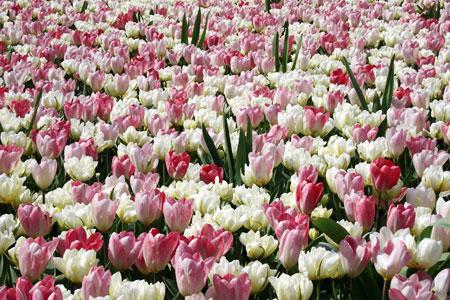 Củ giống hoa Tulip 2015 Tulip11