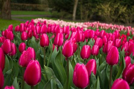 Củ giống hoa Tulip 2015 Tulip6