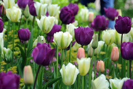 Củ giống hoa Tulip 2015 Tulip9